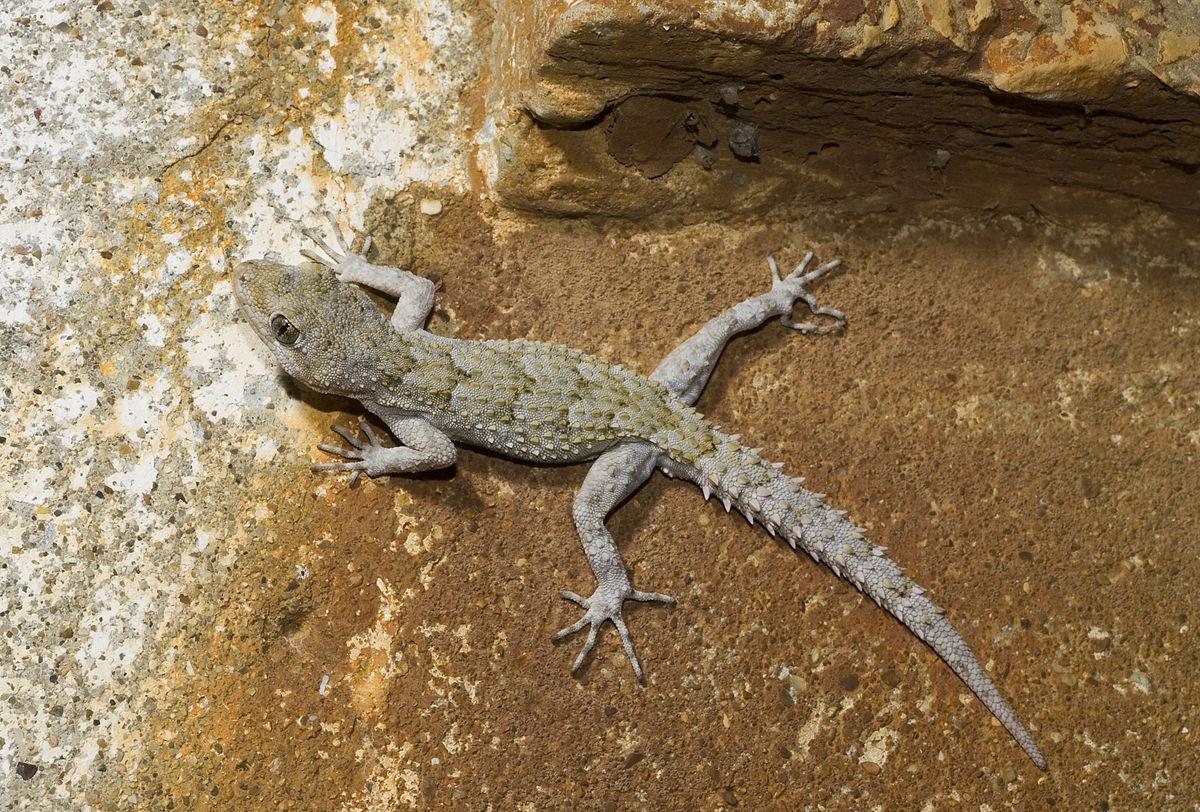 Животные кипра. Геккон Hemidactylus turcicus. Ларнака, Кипр