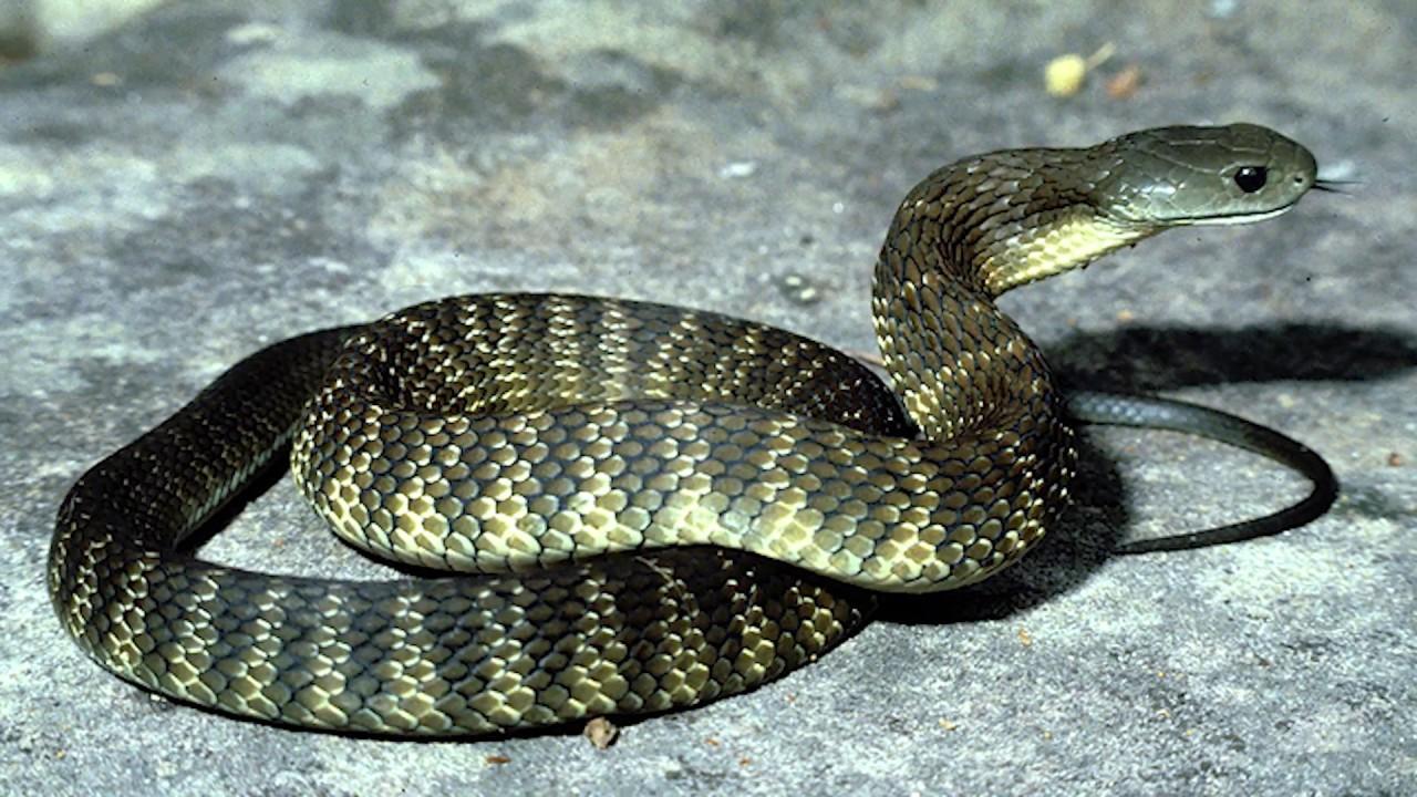 гюрза змеи северный кипр ядовитые змеи