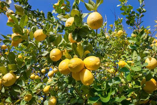 10 простых блюд с лимонами