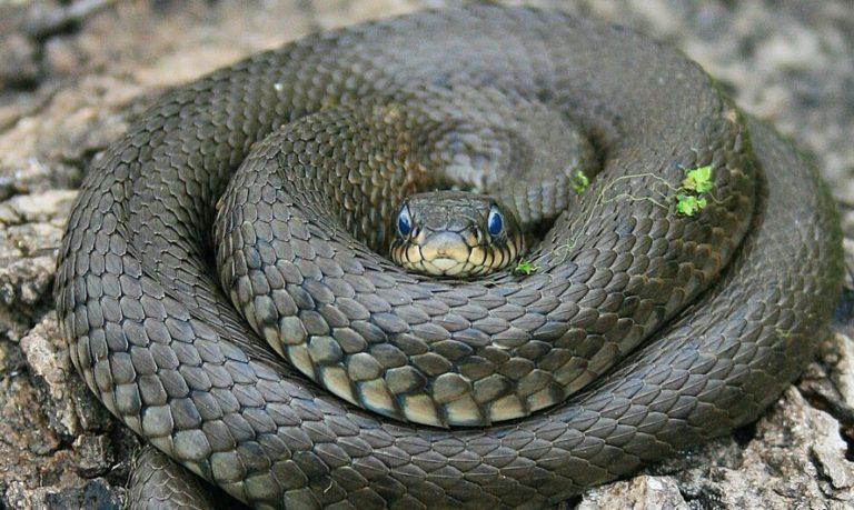 Путеводитель по змеям Северного Кипра